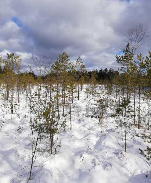 luminen metsämaisema